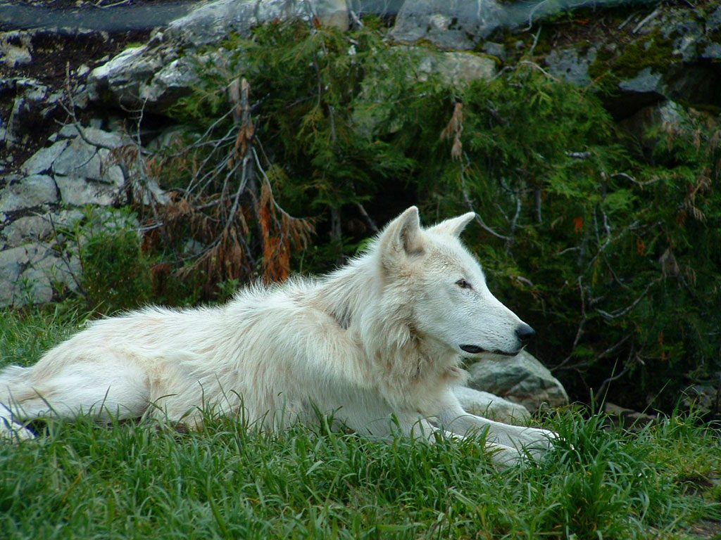 Wolf at Grouse Mountain, British Columbia, Canada
