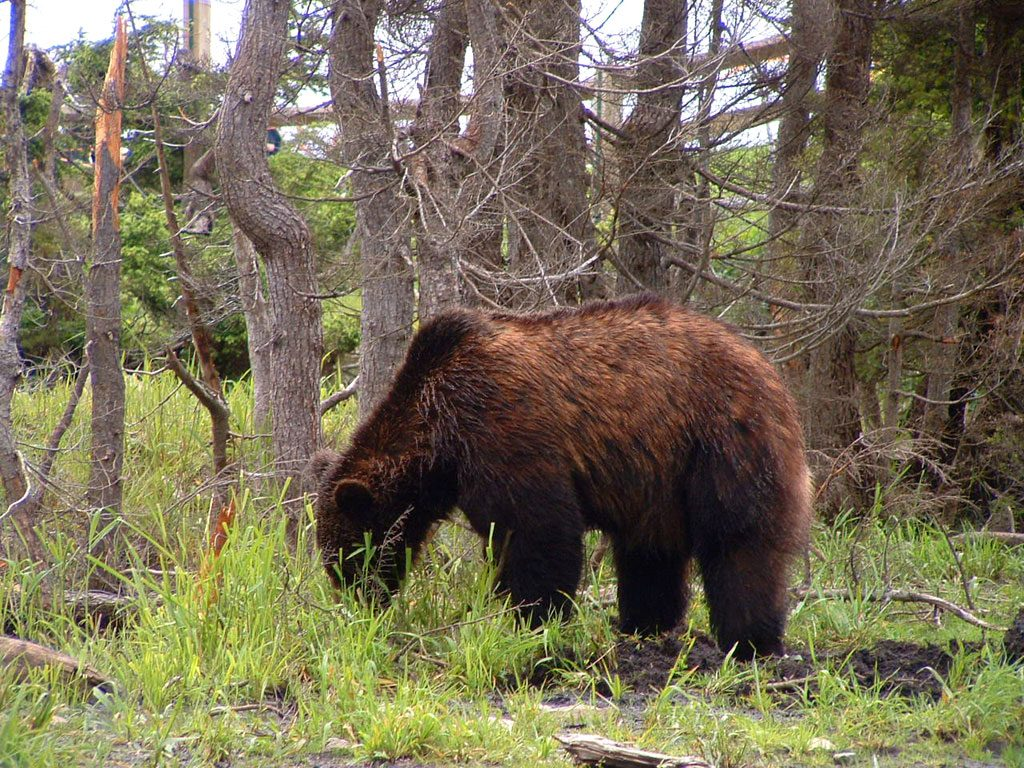 Grizzly Bear British Columbia, Canada