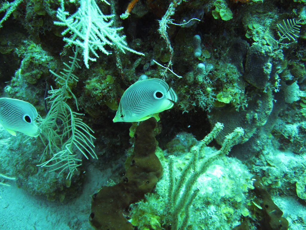 Butterfly Fish at Brewer's Bay Tortola